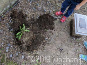 カブトムシとクワガタを埋葬する