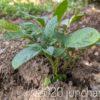 庭に適当に蒔いたじゃがいも (デストロイヤー)の芽が出てきた!畝を作って栽培してみ