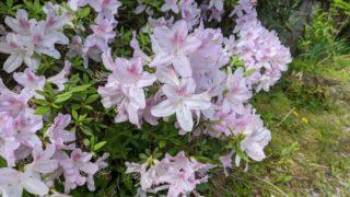 ツツジの花が咲いている