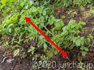 茎が40cm超えに