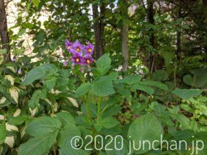 デストロイヤーの花がたくさん咲いている