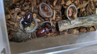 昆虫ゼリーにたかるカブトムシたち