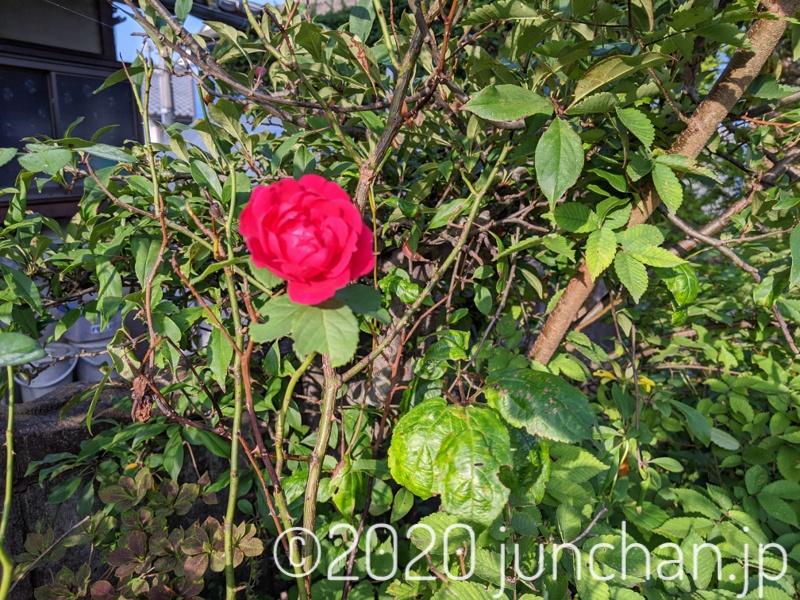 庭にバラが咲いた