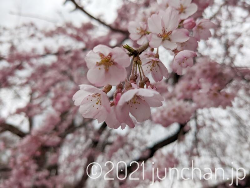 桜が咲き始めていた