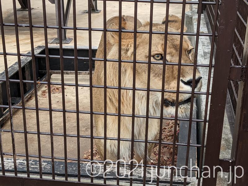 吠えるライオンは迫力があった