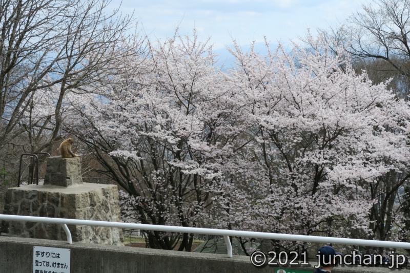 桜がキレイに咲いていた