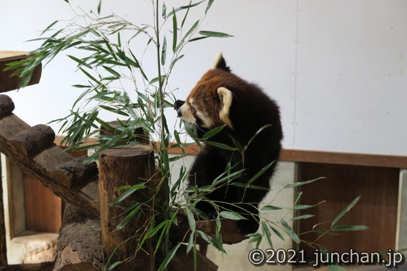 茶臼山動物園自慢のレッサーパンダ