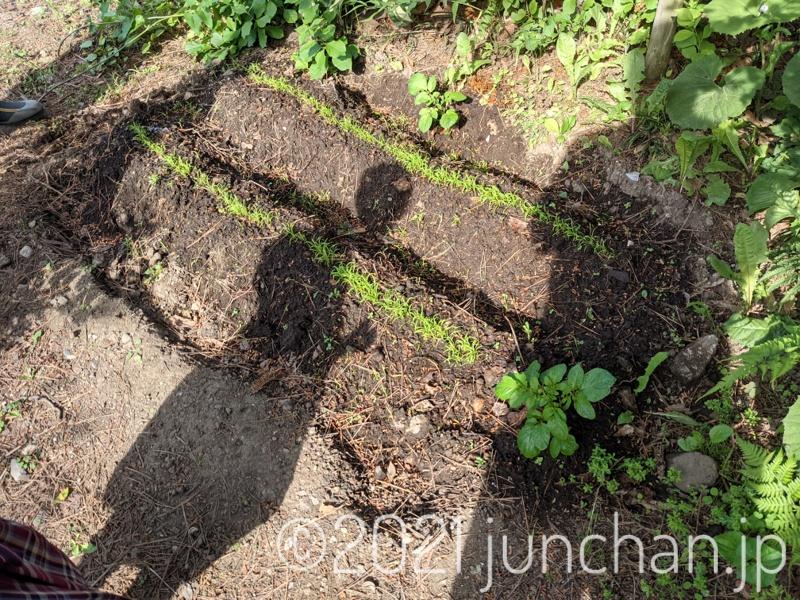 わらわら生えたニンジンの芽