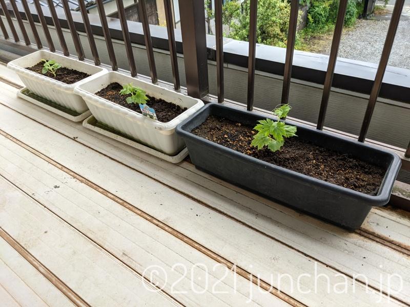 ゴーヤの苗をプランターに植え替え