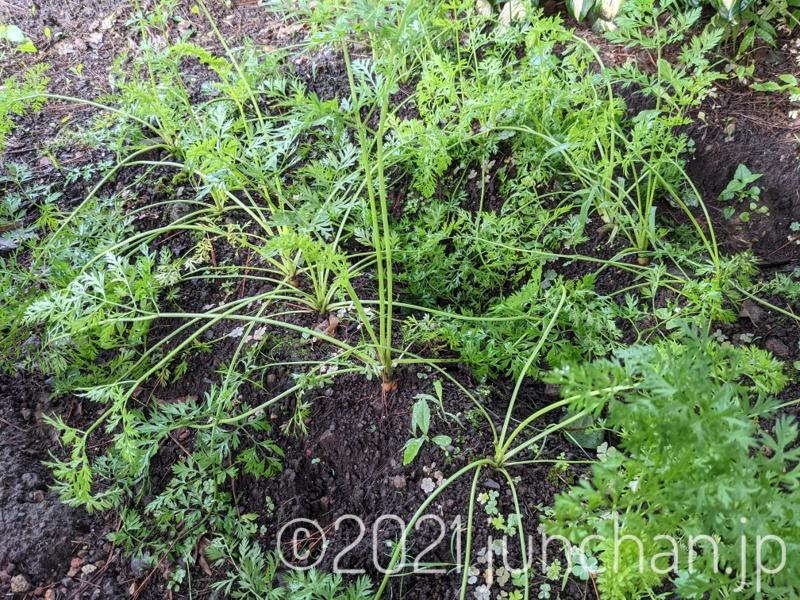 生い茂る人参の葉